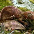 Información sobre el gecko satánico cola de hoja 3
