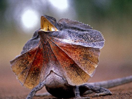 Información sobre el lagarto de kingy 2