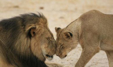 Información sobre el león 2