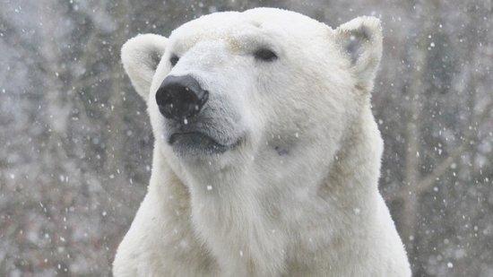 Información sobre el oso polar 1