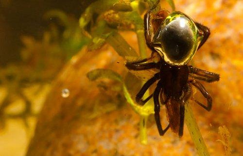 Información sobre la araña de agua 3