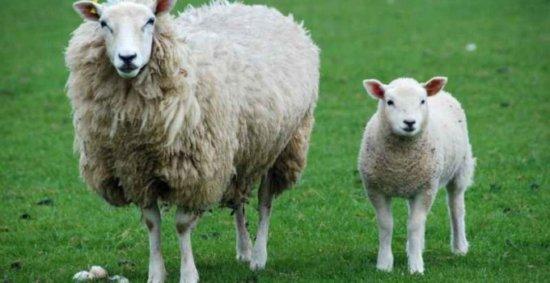 Información sobre la oveja 2