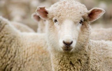 Información sobre la oveja 3