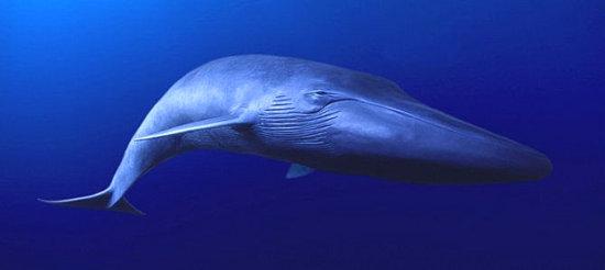 la ballena azul 2