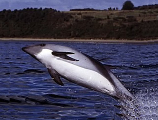 Especies de delfines 1