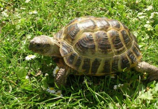 Información sobre la tortuga terrestre 1
