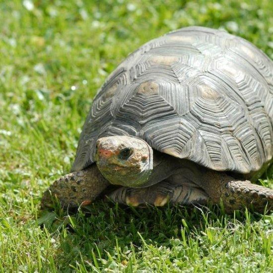 Información sobre la tortuga terrestre 2