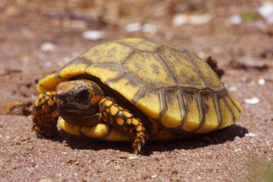 Información sobre la tortuga terrestre 3