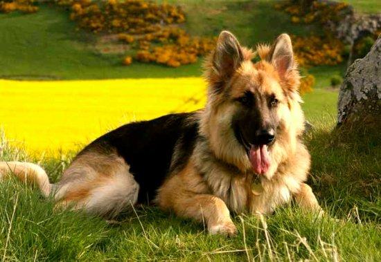 Las 10 razas de perros más inteligentes 3