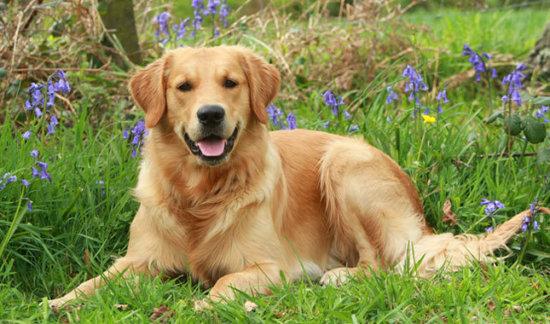 Las 10 razas de perros m s inteligentes informacion for Dog house for labrador retriever