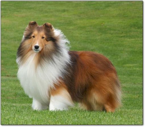Las 10 razas de perros más inteligentes 6