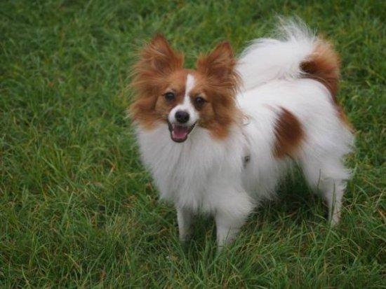 Las 10 razas de perros más inteligentes 8