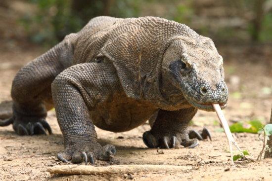 Los 5 reptiles más grandes del planeta 4