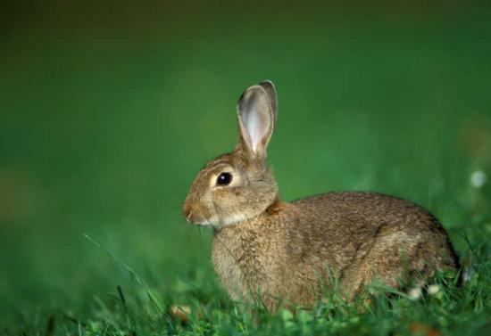 El conejo 1
