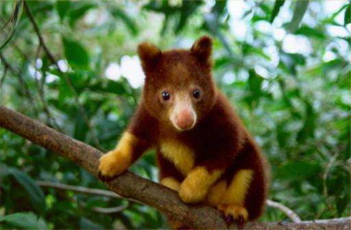 canguro-arboricola-de-manto-dorado-1
