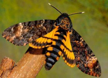 informacion-sobre-la-mariposa-esfinge-calavera-1
