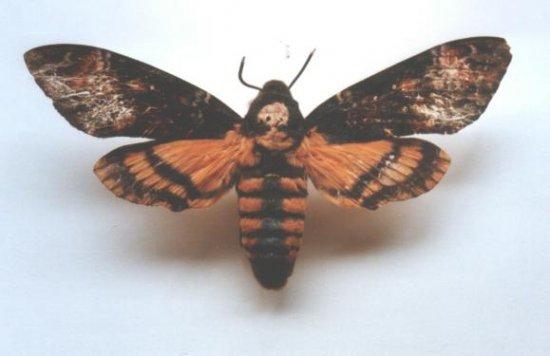 informacion-sobre-la-mariposa-esfinge-calavera-2