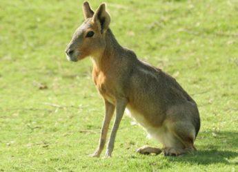 la-mara-o-liebre-patagonica