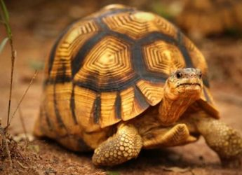 la-tortuga-angonoka-1