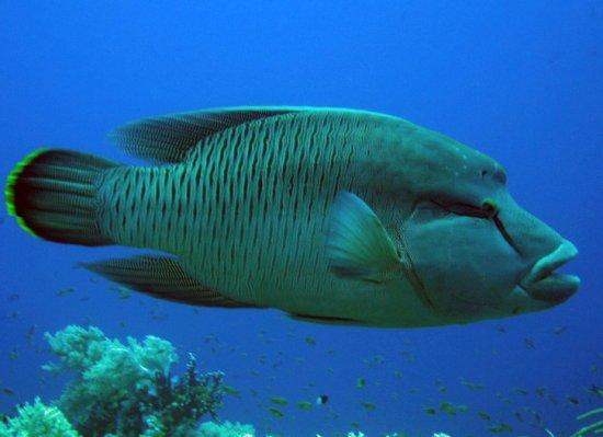 pez-napoleon