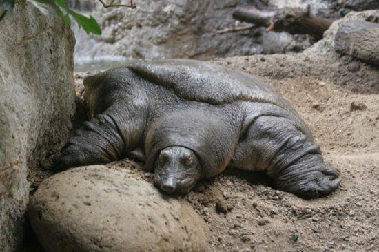 tortuga-nariz-de-cerdo-3