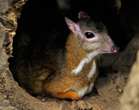 el-ciervo-raton-menor-1