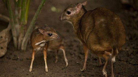 el-ciervo-raton-menor-2