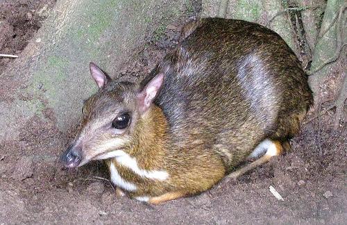 el-ciervo-raton-menor-3