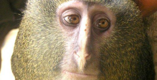 5476dad6499f8 El mono cara de búho informacion sobre animales jpg 533x273 Mono su cara