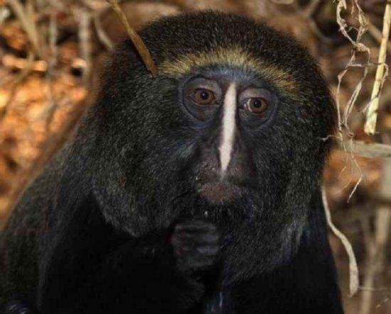 4fd824a5fb210 El mono cara de búho informacion sobre animales jpg 550x442 Mono su cara