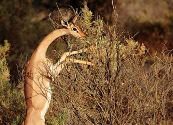 la-gacela-jirafa-2