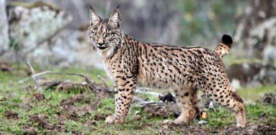 los-5-felinos-mas-raros-y-en-peligro-de-extincion-3