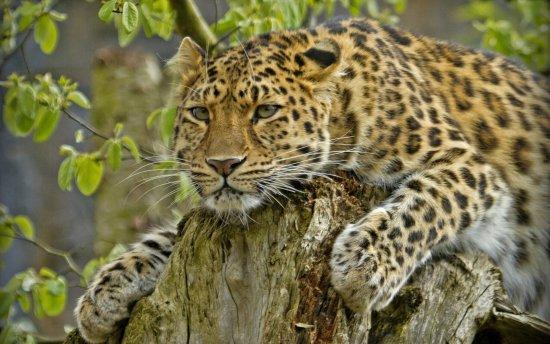 los-5-felinos-mas-raros-y-en-peligro-de-extincion-4