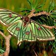 mariposa-isabelina-2