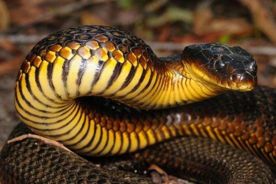 serpiente-tigre-negra-1