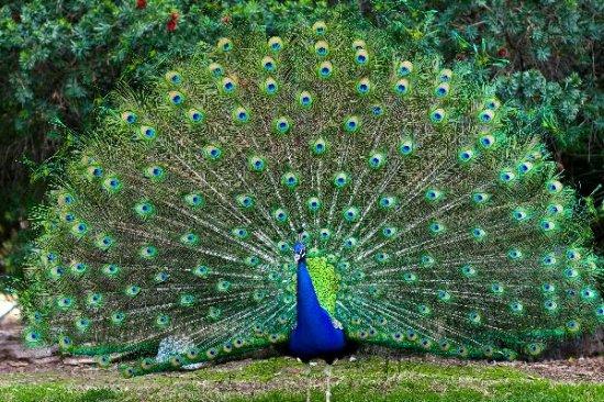 M s informaci n sobre el pavo real informacion sobre - Fotos de un pavo real ...