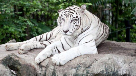 leon y tigre blanco - photo #15