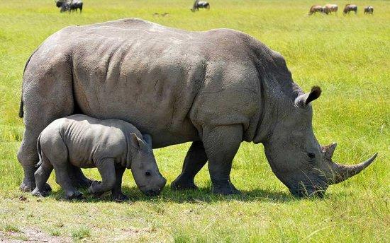 Informaci n sobre el rinoceronte informacion sobre animales for Informacion sobre los arquitectos